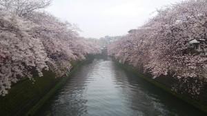 大岡川桜.jpg